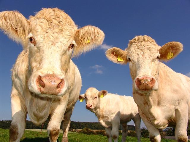 cows-1029077_640.jpg