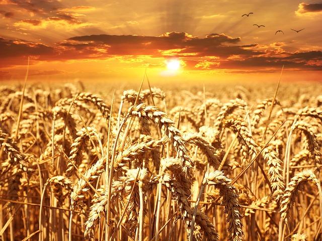wheat-field-640960_640.jpg